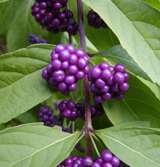 Calicarpa dichotoma Issai - Beautyberry